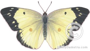 Clouded sulphur – Emily S. Damstra