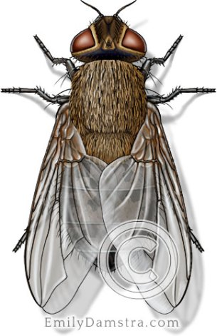 Cluster fly illustration Pollenia rudis female