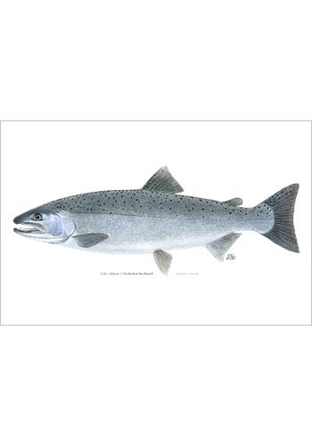 coho_salmon_print