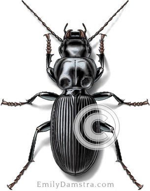 Common black ground beetle illustration Pterostichus sp.