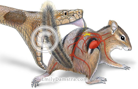 Illustration of northern copperhead snake attacking eastern chipmunk Agkistrodon contortrix mokasen Tamias striatus