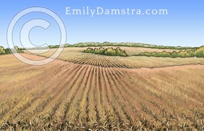 Corn field illustration
