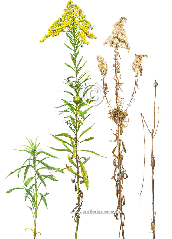 watercolor painting of Tall Goldenrod in four seasons with fifty associates © Emily S. Damstra