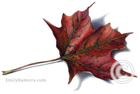 Deep red fall maple leaf illustration