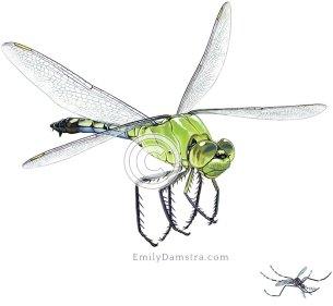 Eastern pondhawk dragonfly Asian tiger mosquito Erythemis simplicicollis Aedes albopictus