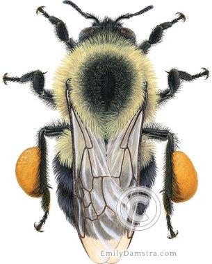 Eastern Bumblebee worker – Emily S. Damstra