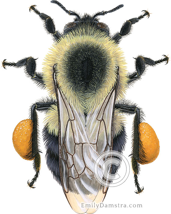 Eastern Bumblebee worker illustration Bombus impatiens
