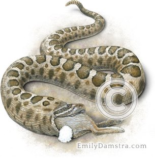 Eastern massasauga rattlesnake swallowing cottontail – Emily S. Damstra