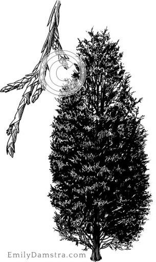 Eastern red cedar illustration Juniperus virginiana