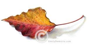 Autumn leaf illustration