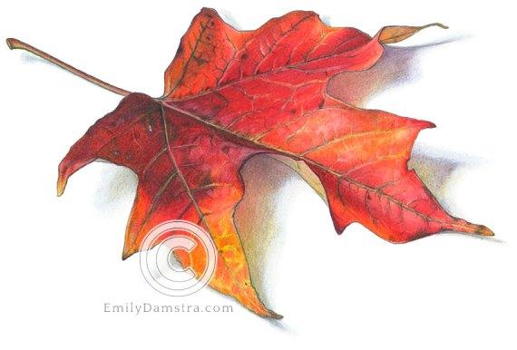 Fall red maple leaf illustration