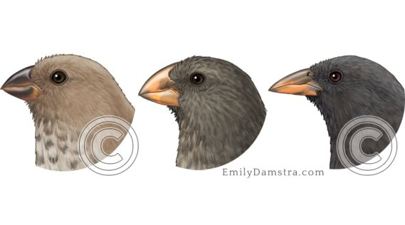 Finch beaks illustration