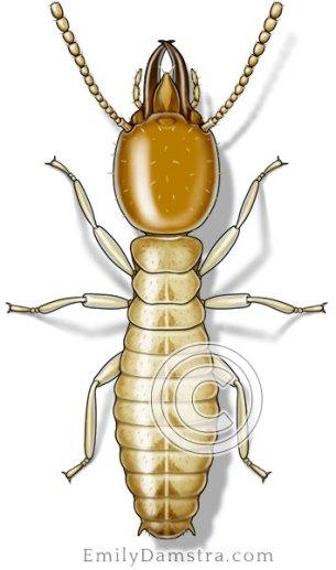 Formosan subterranean termite illustration Coptotermes formosanus