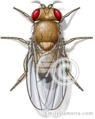 Fruit fly illustration Drosophila melanogaster