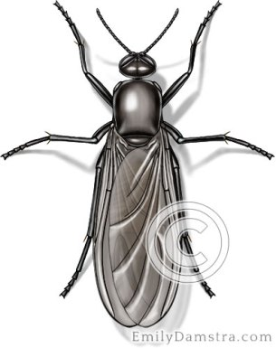 fungus gnat illustration Sciara spp.