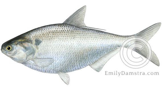 Gizzard shad Dorosoma cepedianum illustration