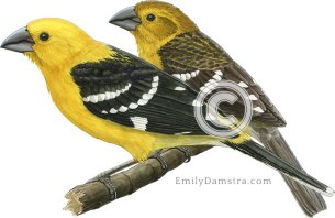 Golden-bellied grosbeaks illustration Pheucticus chrysogaster