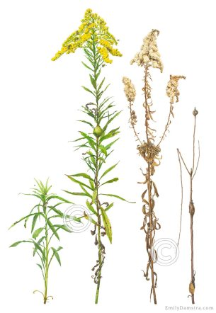 goldenrod Solidago altissima illustration