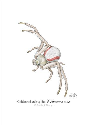 goldenrod crab spider print