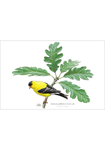 goldfinch_oak_print