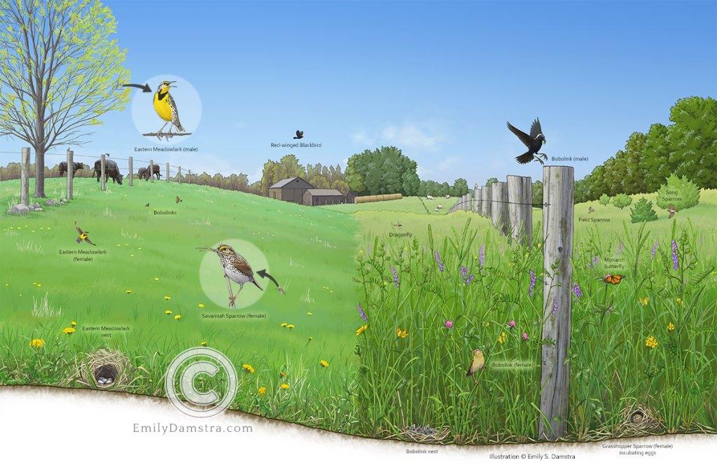 Illustration of grassland birds in an agricultural landscape