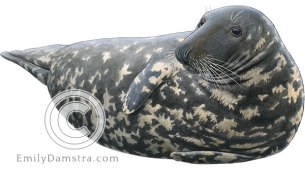 Gray seal Halichoerus grypus illustration