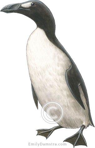 Great auk illustration Pinguinus impennis