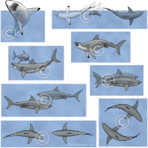 Great white shark behaviors – Emily S. Damstra