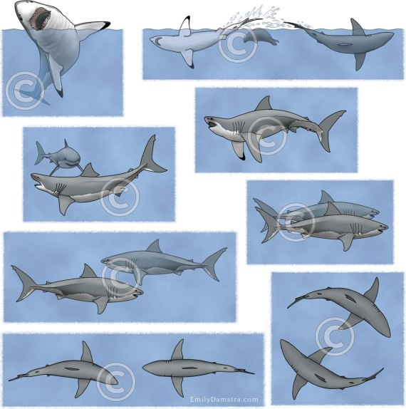 Great white shark behaviors illustration Carcharodon carcharias