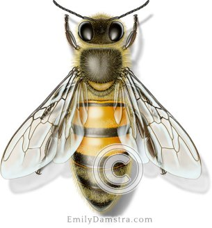 Honeybee illustration Apis mellifera