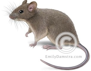 House mouse illustration Mus musculus