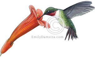 Ruby-throated hummingbird and red trumpet vine flower – Emily S. Damstra