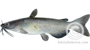 Channel catfish Ictalurus punctatus illustration