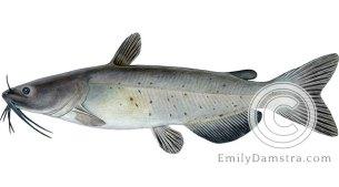 Channel catfish Ictalurus punctatus illustration