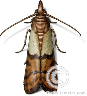 Indian meal moth illustration Plodia interpunctella