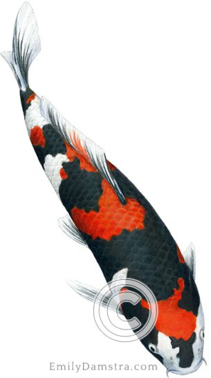 Showa sanshoku koi illustration