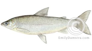 Lake whitefish coregonus clupeaformis illustration