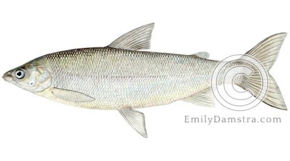 Lake whitefish coregonus clupeaformis illustration