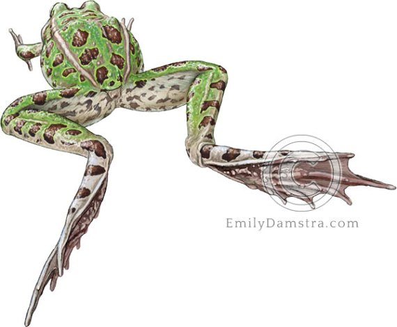 Illustration of leaping Leopard frog Rana pipiens