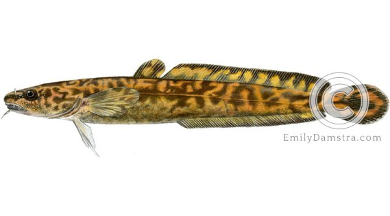 Burbot lota illustration