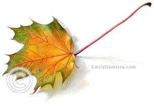 Yellow and green maple leaf illustration