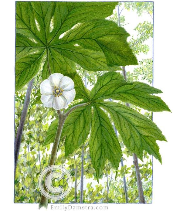 Mayapple illustration Podophyllum peltatum