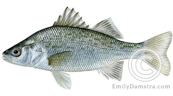 White perch Morone americana illustration