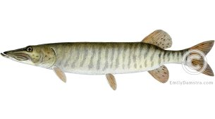 Muskellunge – Emily S. Damstra