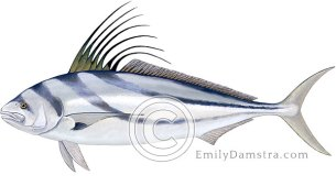 Roosterfish illustration Nematistius pectoralis