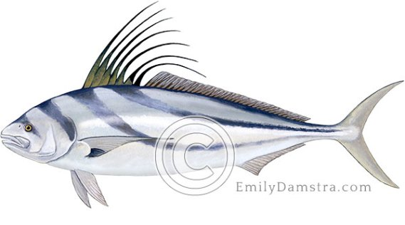 Roosterfish illustration Nematistius pectoralis