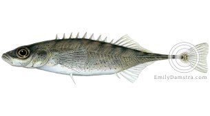 Ninespine stickleback Pungitius illustration