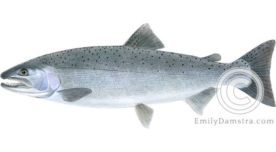 Coho salmon Oncorhynchus kisutch illustration