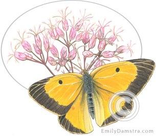 Illustration orange sulphur Joe-pye-weed Colias eurytheme Eupatorium maculatum
