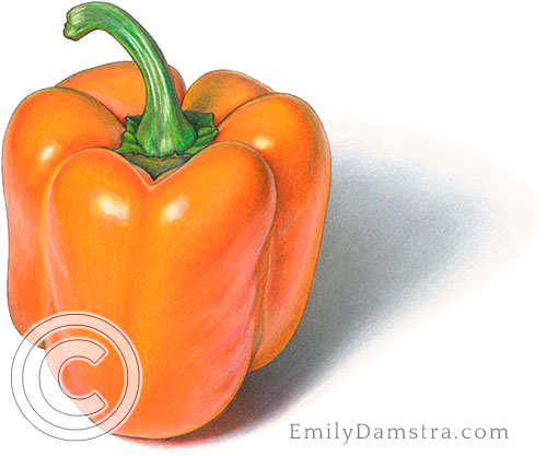 Orange pepper illustration